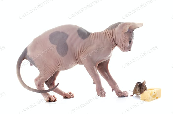 Sphynx Hairless Cat and mouse