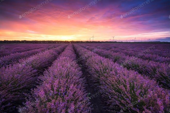 Lavender field at sunrise