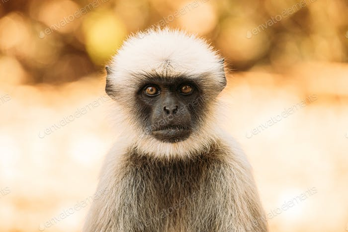 Goa, India. Gray Langur Monkey. Close Portrait