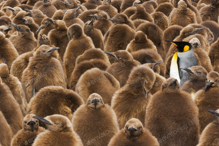A colony of King Penguins, one adult among fledgling chicks with brown fluffy coats.