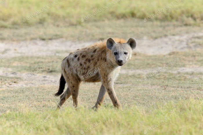 Hyena in National park of Kenya