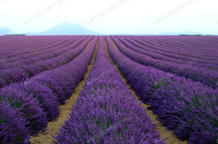 Lilac lavender field, summer landscape near Valensole in Provence, France. Nature background with