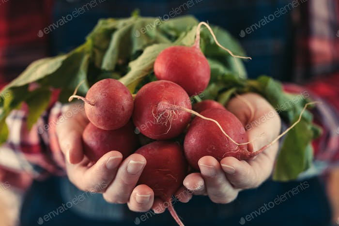 Female farmer holding bunch of harvested radishes