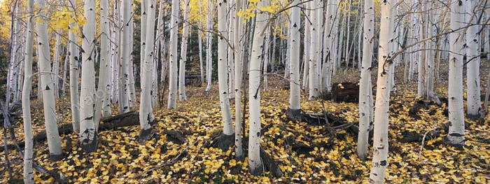 Aspen trees in autumn, White bark and yellow foliage on the branches and fallen to the ground,