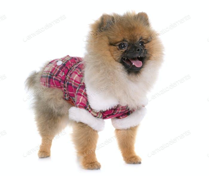 young pomeranian dog dressed