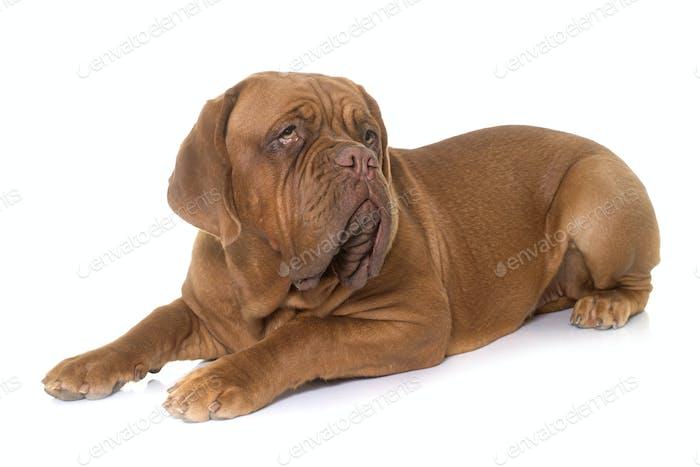 young dogue de bordeaux