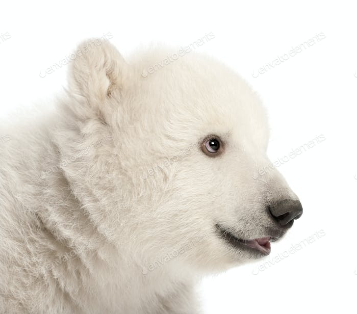 Polar bear cub, Ursus maritimus, 3 months old, against white background