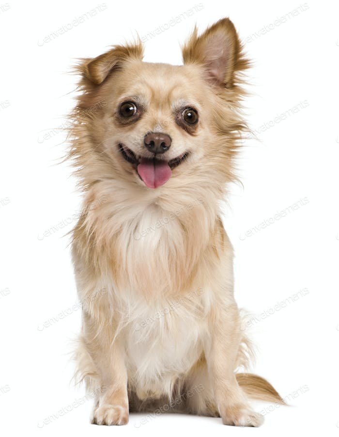 Chihuahua, 4 years old, in front of white background