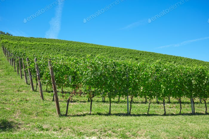 Vineyards in a sunny day in Italy