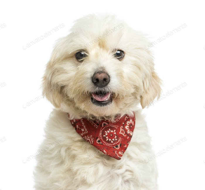 Close-up of a Crossbreed dog wearing a red bandana, panting, isolated on white