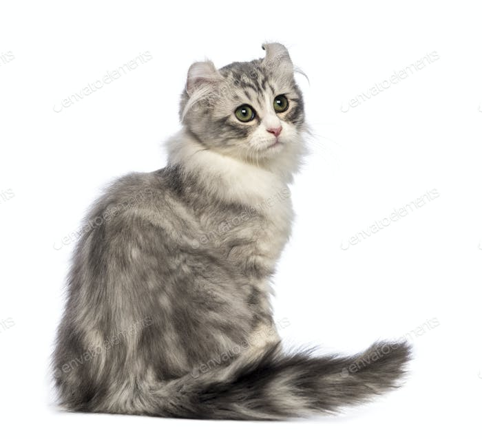Rear view of an American Curl kitten, 3 months old, sitting