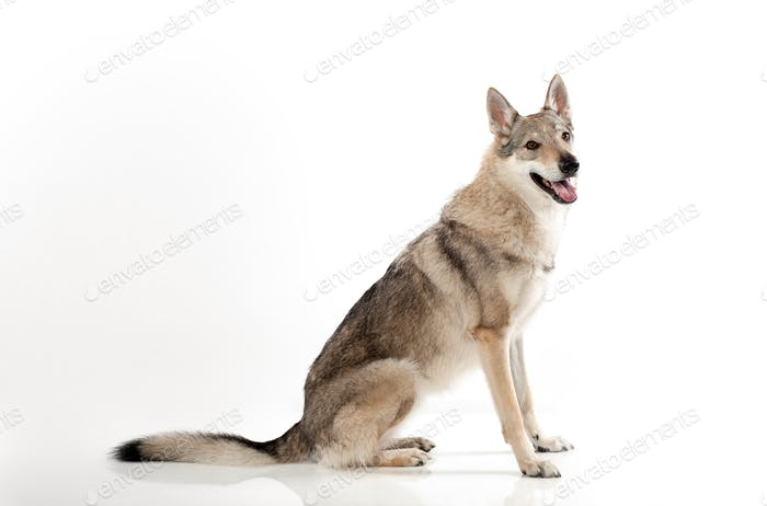 Studio shot of Czechoslovakian wolf dog
