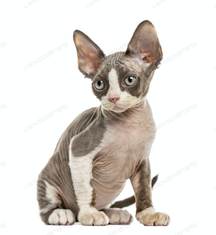 Devon Rex kitten isolated on white