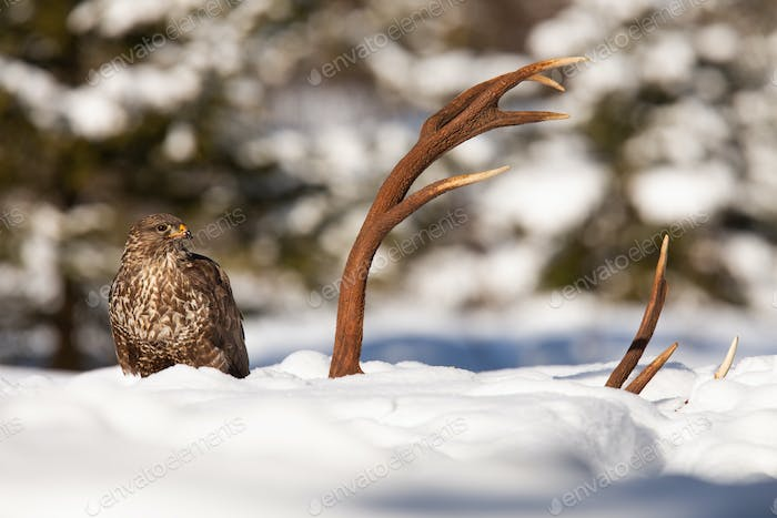 Common buzzard looking to the antlers on snow in winter
