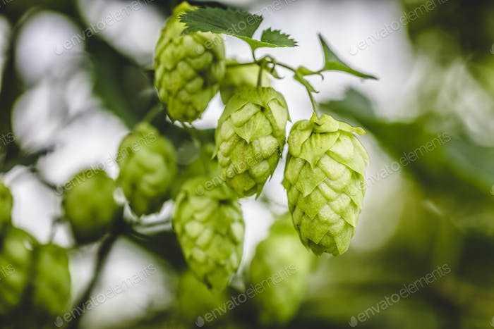 Close-up cascade hop growing on a branch