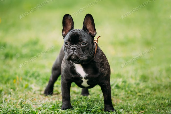 Young Black French Bulldog Dog In Green Grass