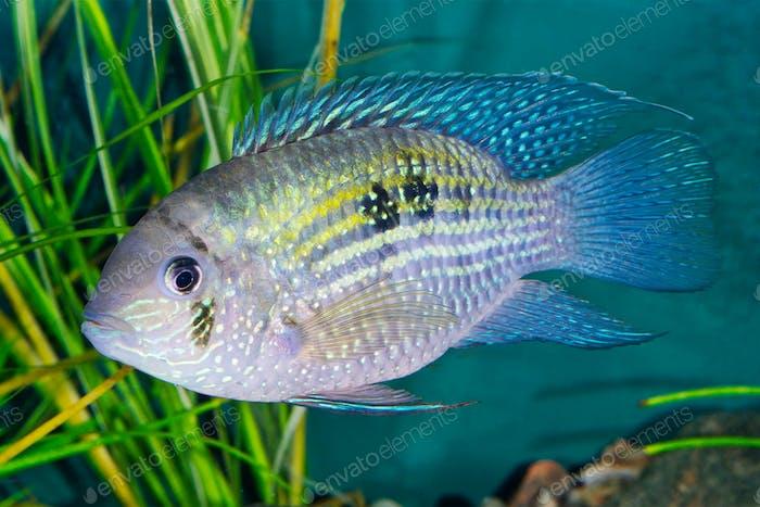 Blue acara (Andinoacara pulcher) in a aquarium