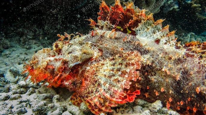 Scorpena on Arborek Island, Raja Ampat