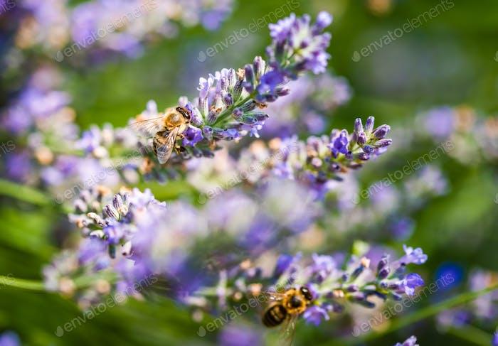 Europäische Honigbiene, Apis mellifera auf einer Lavendelblume