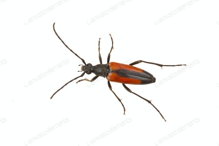 Escarabajo (Stenurella melanura) sobre Fondo blanco