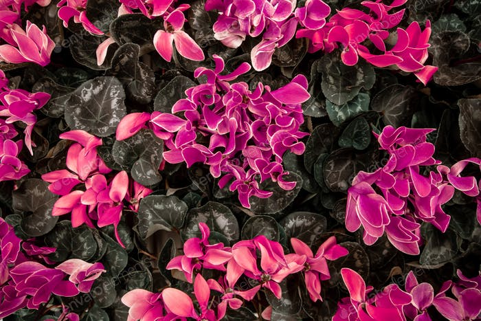 Natural beautiful background with lots of cyclamen.