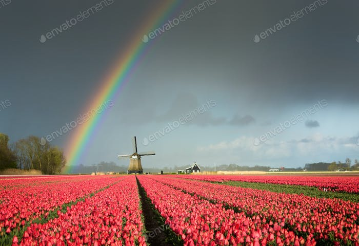 Tulips with a windmill and a great rainbow in the Netherlands