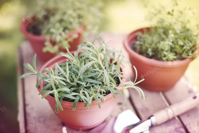 Fresh herbs grown in the pots
