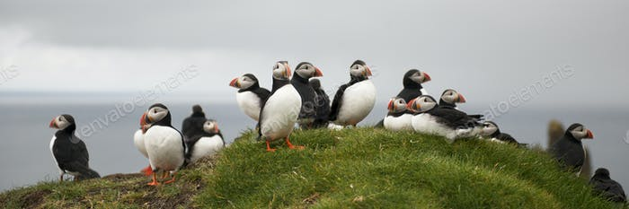Atlántico Puffin o Puffin Común, Fratercula arctica, en Mykines, Islas Feroe