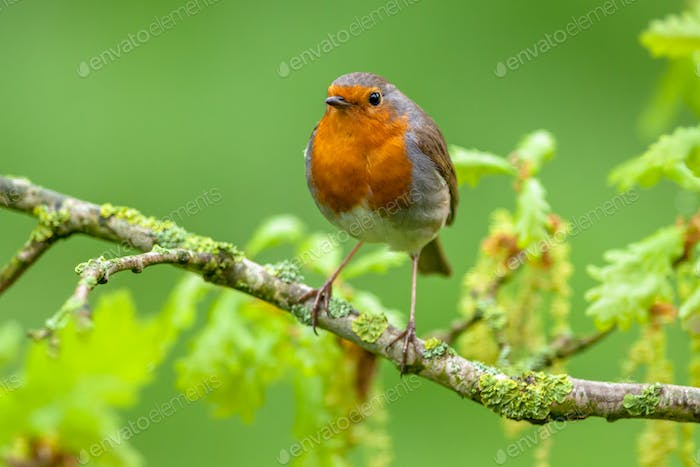 Robin perched on a oak branch with fresh leaves
