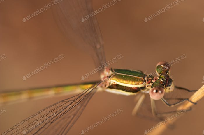 Libelle (Lestes Barbarus)