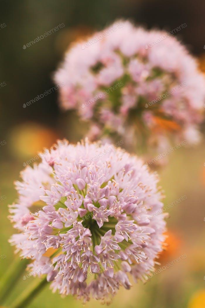 Decorative Allium Onion Blossomed White Flowers In Garden