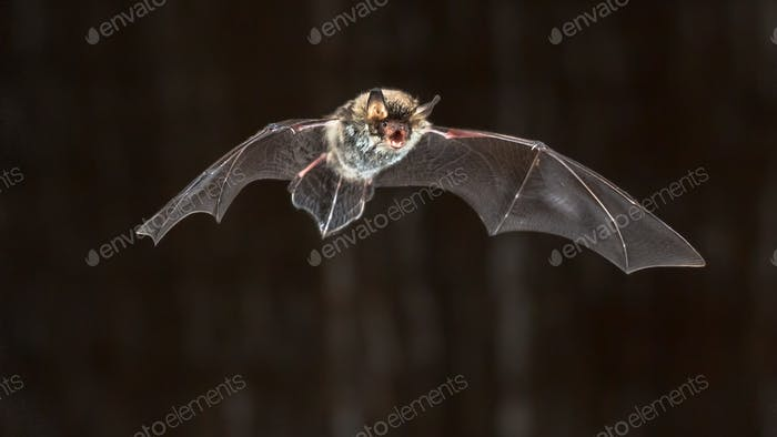 Flying Natterers bat at night