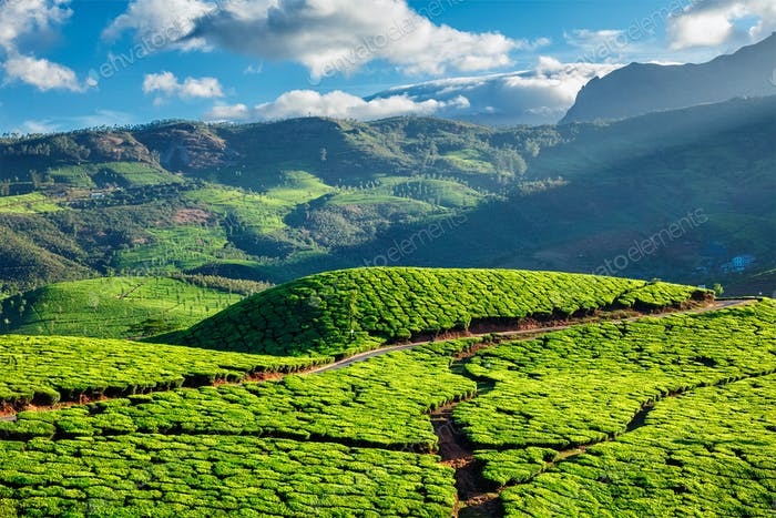 Tea plantations in Kerala, India