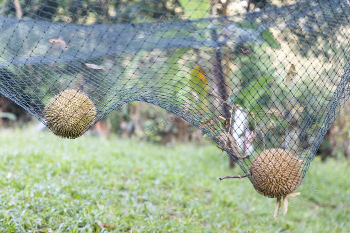 Ripe durian landed on safety net to cushion fall impact.