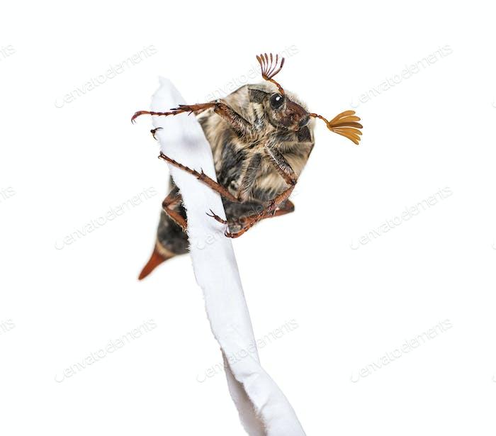 Sommer Sprecher oder Europäischer Juni Käfer, Amphimallon solstitiale, mit zerrissenem Papier