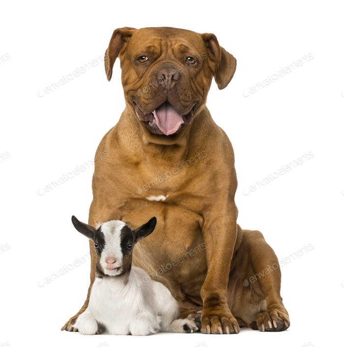 Young domestic goat and a Dogue de Bordeaux