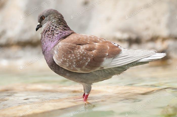 Brown Pidgeon in Water