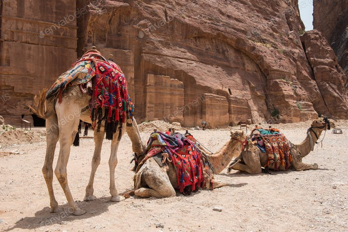 Camels resting in the desert. Petra, Jordan