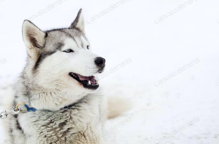 Perros Husky siberianos en la Nieve