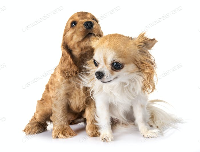 puppy cocker spaniel and chihuahua