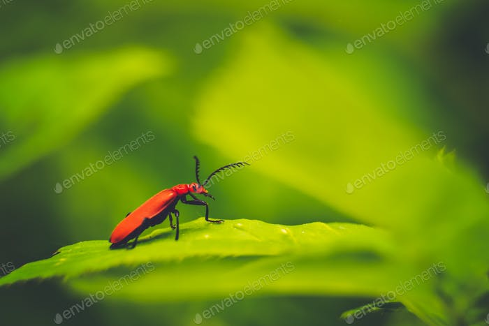 Fire-coloured beetle
