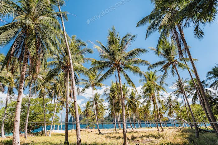 Ipil beach with coconut palm trees, sandy beach and blue ocean in background. El Nido, Palawan