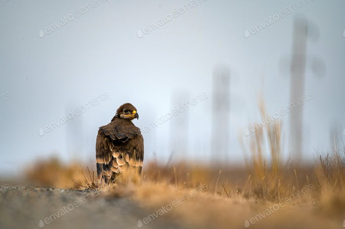 Close up of nestling Steppe eagle or Aquila nipalensis in grass