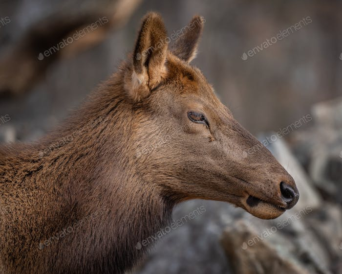 Rocky Mountain Elk Cow