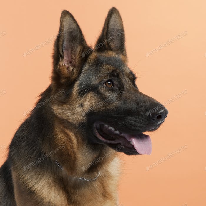 German Shepherd Dog (10 months old)