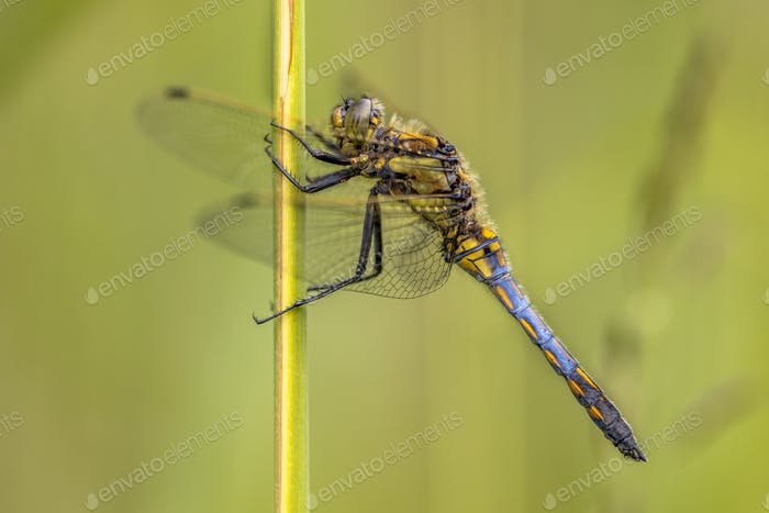 Black tailed skimmer with green background