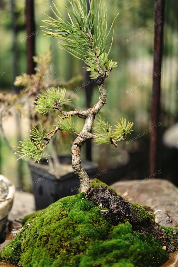 красивые маленькие деревья бонсай разнообразие на дворе, рынок и сад