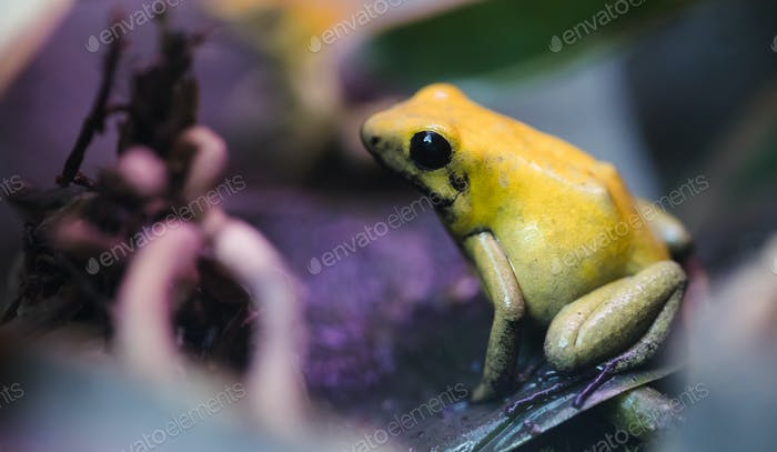 poisonous frog, poison dart frog terribilis a dangerous animal from the tropical rain forest