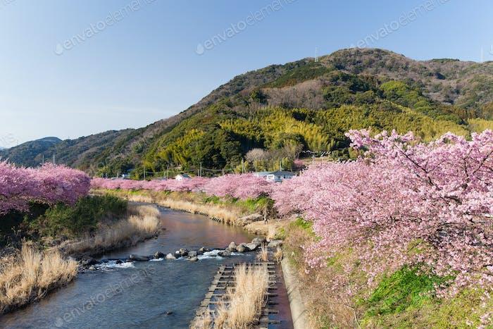 Sakura and lake