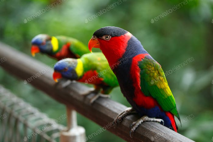 Black-capped lories (Lorius lory